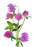 Пук розового цветка клевера изолированного на белизне Стоковая Фотография RF