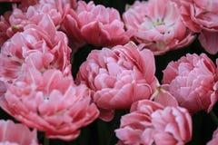 Пук розовых тюльпанов в поле стоковые фотографии rf