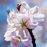 Пук розовых цветков вишни Стоковое фото RF