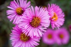 Пук розовых цветков. Стоковая Фотография RF
