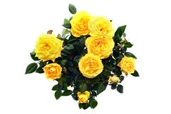 Пук розы желтого цвета на белизне изолировал предпосылку Взгляд сверху стоковые фото