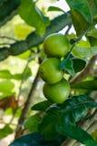 Пук свежего зеленого лимона с листьями стоковые фото