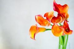 Пук свежего оранжевого Calla lilly цветет с космосом экземпляра Стоковые Фотографии RF