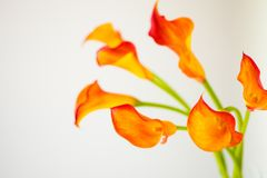 Пук свежего оранжевого Calla lilly цветет с космосом экземпляра Стоковая Фотография RF