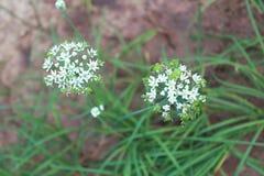 Пук свежего цветка chives Стоковые Фото