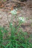 Пук свежего цветка chives Стоковое Изображение RF