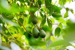 Пук свежих авокадоов зрея на ветви дерева авокадоа Стоковая Фотография