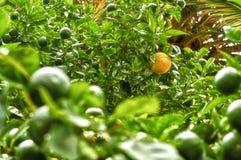 Пук свежих зрелых лимонов на ветви дерева лимона в солнечном саде Стоковое Изображение RF