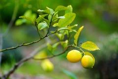 Пук свежих зрелых лимонов на ветви дерева лимона Стоковая Фотография RF