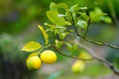 Пук свежих зрелых лимонов на ветви дерева лимона Стоковое Изображение RF