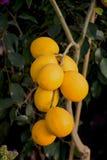 Пук свежих зрелых лимонов на дереве лимона в саде Стоковые Фото