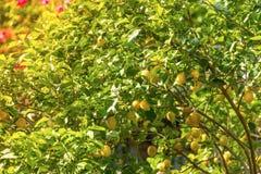 Пук свежих зрелых лимонов на дереве лимона Стоковая Фотография RF