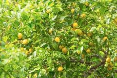 Пук свежих зрелых лимонов на дереве лимона Стоковые Фотографии RF