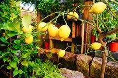 Пук свежих зрелых лимонов Стоковое Фото