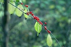 Пук с красными ягодами Стоковые Фото