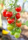 Пук томатов вишни стоковые изображения