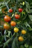 Пук томатов - 03 Стоковые Изображения