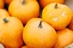 Пук толстеньких и сочных тыкв праздника Стоковое Фото
