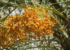 Пук финиковой пальмы Стоковые Изображения