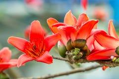 Пук цветений bombax Стоковое Изображение