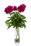 пук цветет белизна peonies розовая Стоковая Фотография RF