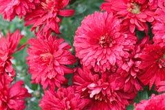 пук цветет красный цвет Стоковые Изображения RF