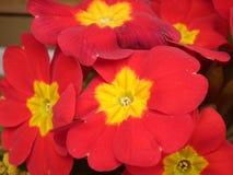 пук цветет красный цвет Стоковая Фотография