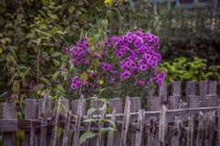 пук цветет пинк Стоковое Фото