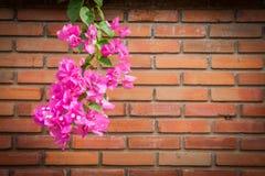 Пук цветка бугинвилии Стоковая Фотография