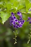 Пук цветка девушки гейши Duranta, Стоковые Изображения