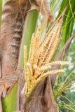 Пук цветка кокоса Стоковые Фотографии RF