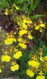 Пук цветка танцоров желтого цвета традиционный Стоковые Изображения