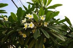 Пук цветков магнолии на дереве Стоковая Фотография RF