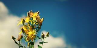 Пук цветков wort ` s St. John ледовитый Лапландии природы русский северно Стоковое Фото