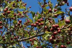 Пук ягод на ветви на солнечный день стоковые фотографии rf