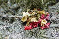 Пук ягод на firry ветвях Стоковое фото RF