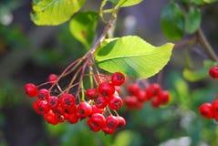 пук ягод Стоковая Фотография RF