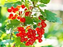 Пук ягод красной смородины закрывает вверх стоковое фото rf