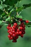 Пук ягод красных смородин Стоковые Фотографии RF