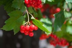 Пук ягод guelder-Розы outdoors стоковое изображение