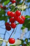 Пук ярких красных вишен ягод на ветви против зеленой крупного плана листвы и голубого неба Стоковое фото RF