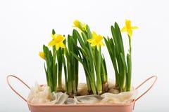 Пук яркого narcissus желтого цвета весны изолированного на белой предпосылке Стоковые Изображения RF