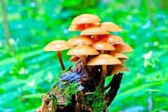 Пук toadstools растя на пне в лесе Стоковое фото RF
