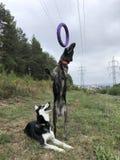 Пулер собаки стоковое фото rf