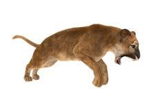 пума большой кошки перевода 3D на белизне Стоковое Изображение