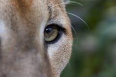 пума глаза Стоковые Фотографии RF