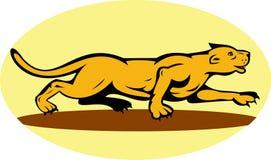пума горы льва бродя Стоковые Фотографии RF