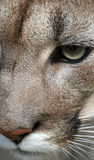 пума Стоковая Фотография RF