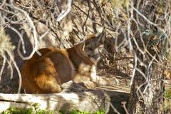 пума felis concolor Стоковое Изображение