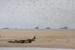 Пункт пеликана с уплотнениями и тройками, Намибией Стоковое Изображение RF